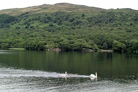 Swans on Coniston Water