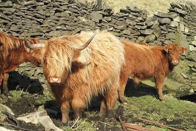 Highland cattle on a farm in the Staffordshire Moorlands
