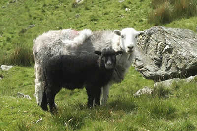 Herdwick Sheep from Lake District