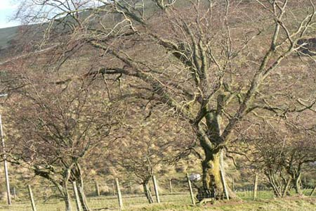 Wych Elm in the College Valley