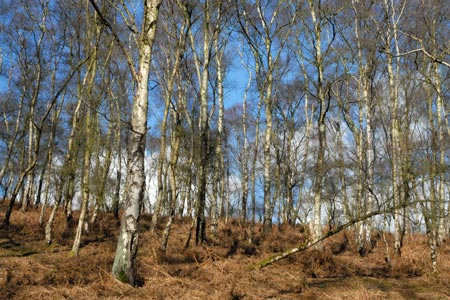 Typical Cannock Chase woodland with Silver Birches