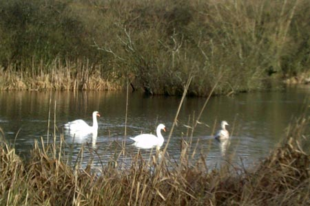 Amersham - Swans on Shardeloes Lake.