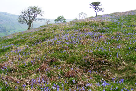 Open land near Oxenber Wood with bluebells