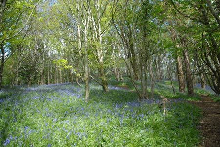 Bluebells in the woods above Lyme Regis