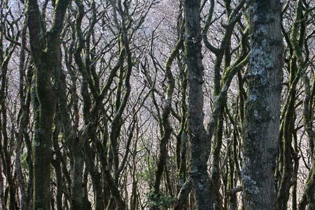 The woodland approaching Watersmeet is dense