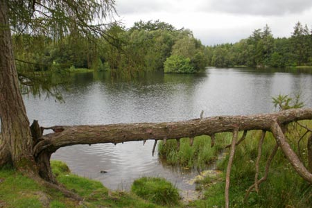 Fallen tree at Moss Eccles Tarn on Claife Heights