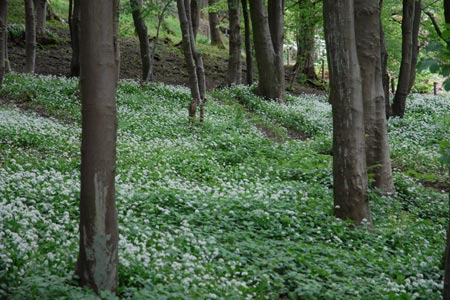 Wild Garlic flowering in Wood Hill Wood, Tillicoultry