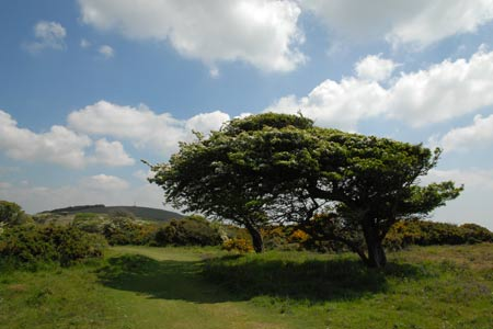 Windswept trees on Tennyson Down