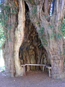 The ancient yew and bench outside the church at Much Marcle