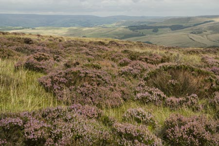 Banks of heather on the flanks of Shining Tor